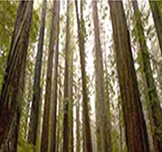 Big Pack - (200) California Redwood Tree Seeds - Sequoia sempervirens - Evergreen Fast Growth - by MySeeds.Co (Big Pack - CA Redwood)