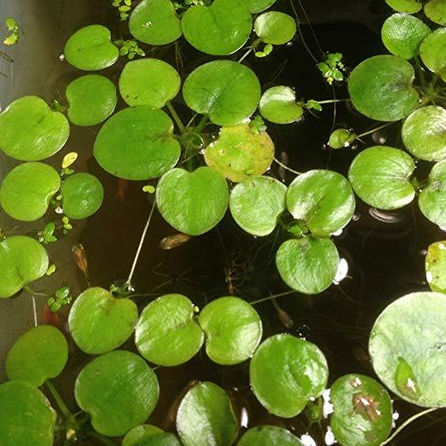 20 Pcs Étang Plante Lemna Minor Duckweed Graines Aquarium Aménagement Paysager Décoration Jardin Plantes Graines 20 pièces