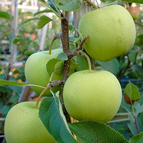 Müllers Grüner Garten Shop Golden Delicious süß aromatisch Winterapfel Apfelbaum Buschbaum 150-170 cm wurzelnackt Unterlage M7
