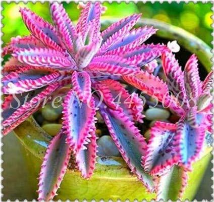 Bloom Green Co. Rara Púrpura Bromelia Tillandsia Bulbosa Planta de aire Muy fácil de cultivar Planta perezosa Bonsai Semilla Para el jardín en casa 100 piezas: 2