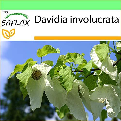 SAFLAX - Garden to Go - Taschentuchbaum - 1 Samen - Mit Tontopf, Untersetzer, Anzuchtsubstrat und Dünger - Davidia involucrata