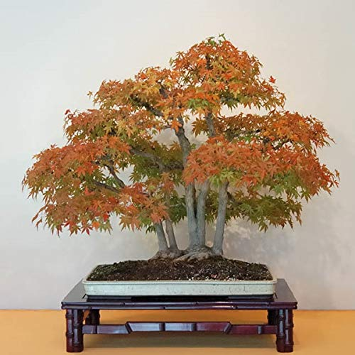 Pinkdose Bonsai 2018 New Mpale Tree 30pcs/Pack Blue Maple Tree Japanese Maple Balcony Plants for Home Garden: 16