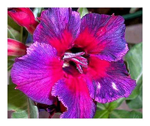 Adenium obesum Thailand - Rose du désert - Faux baobab - 3 graines