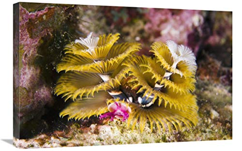 Global Gallery Christmas Tree Worm Filter Feeding While Attached to Great Star Coral, Bonaire, Netherlands Antilles, Caribbean-Canvas Art-30'x20'