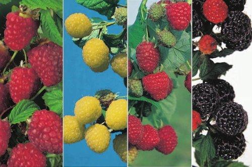 Himbeeren-4-Sorten-Kombination 2 x rote, 1 x gelbe & 1 x schwarze Himbeerenpflanzen