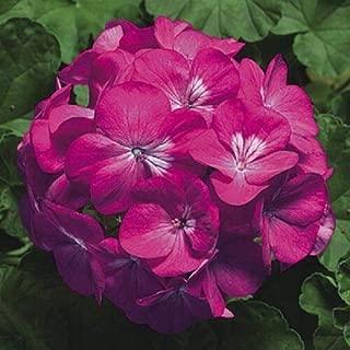 15 Geranium Seeds Pinto Premium Deep Rose