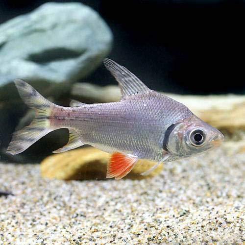 (熱帯魚)カラー・プロキロダス 11~13cm(ワイルド)(1匹) 北海道・九州航空便要保温