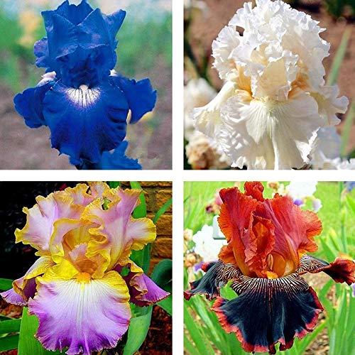 Semillas para plantar, 500 unidades por bolsa Iris Tectorum Semillas Clima Temperado No OGM De Crecimiento Rápido Bonsai Jardín Semillas para el Hogar - Iris Tectorum Seeds
