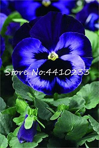 Sumpf frisch 50 Stück Stiefmütterchen Blumensamen zum Pflanzen Blau 2