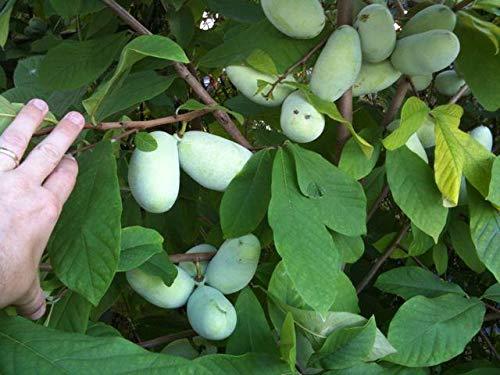 "Lịve Starter Pawpaw - Paw Paw Trẹẹ Seedling Asimina Triloba - Bare Rọot - 2 Years Old 6""-12""+ Inches Tall"