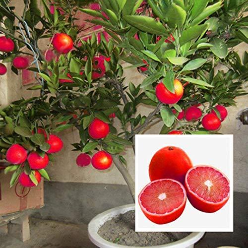 Portal Cool Rote Zitronenbaum Blutorange Organische Frucht Samen Bonsai Rote Limette Samen 20 Stücke E