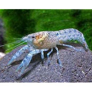 Kleinste Zwergflusskrebs – Cambarellus diminutus