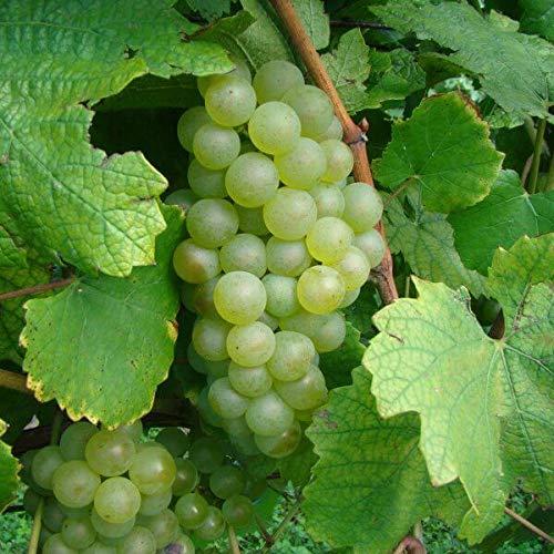 Chardonnay Wente Clone Wine Grape Vine -...