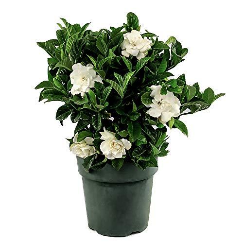 "American Plant Exchange Gardenia Bush Veitchii Live Plant, 6"" Pot, Indoor/Outdoor Air Purifier"
