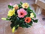 ハイビスカス 大株仕上げ 人気のアソート(ミックス系)寄せ植え ハワイ大好き今日は何色が咲くかな~ 花のおみくじを テラコッタ陶器 鉢植え Sサイズ 花鉢