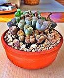 UEYR 100 Semillas Lithops Pseudotruncatella Lig Piedra suculentas Raras Semillas del jardín de Semillas de Semillas