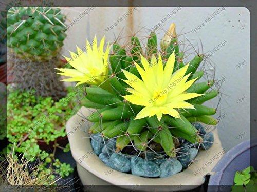 200pcs / sac Rare Cactus Seed couleurs mélangées Graines de fleurs Résistance à sec Belle Belle Plante Bonsai Pour jardin