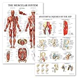 2 Pack - Muscular System Anatomical Poster + Anatomy & Injuries of The Hip Chart