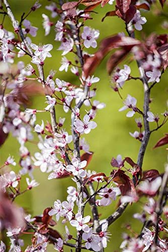 Blutpflaume Prunus cerasifera 'Nigra' im Topf gewachsen ca. 60-100cm