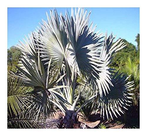 SANHOC Samen-Paket: Bismarckia nobilis - Bismarck Palm - 4 SeedsSEED