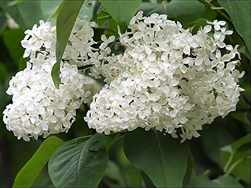 20 Arbre Blanc Lilas Colibri Fleur parfumée Peking Syringa Vulgaris Pekinensis Graines