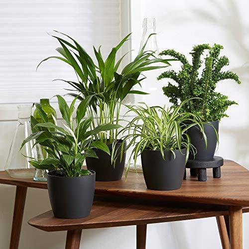 4er Set Luftreinigende Zimmerpflanzen | Vier Grünpflanzen mit Topf | Elho Übertopf | Höhe 25-30 cm | Topf-Ø 12 cm