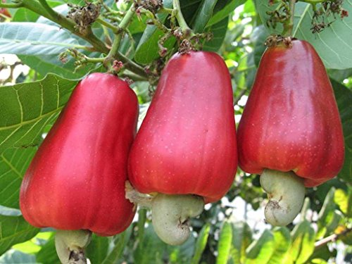Asklepios-seeds® - Anacardium occidentale 5 frische Samen, Cashewnuss, Cashewbaum, Kaschu