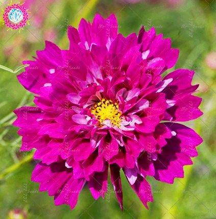 100pcs Rare Bonsai Double Cosmos Graines de fleurs vivaces plantes à fleurs en pot pour jardin facile à cultiver 8