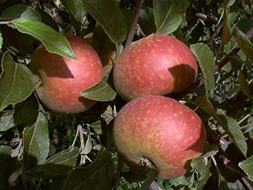 Apfelbaum, Ingrid Marie, Malus domestica, Obstbaum winterhart, alte Sorte rot, im Topf, ca. 175