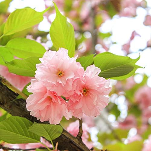 10 Stück Cassia Grandis Samen Volle Sonne Lebendig Frische Einfache Pflanze Rosa Duschbaum Samen Für Haussamen