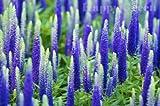 Fresh Seeds - Spiked Speedwell - Veronica Spicata - 1300 Semillas - Flor Perenne de Rockery