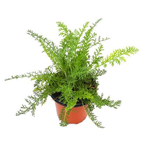 Milenrama 10cm Achillea Millefolium Planta Natural en Maceta