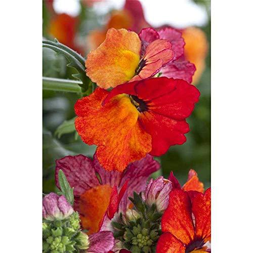 Nemesia Sunsatia, orange, Elfenspiegel - im Topf 11 cm, in Gärtnerqualität von Blumen Eber - 11 cm