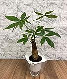 パフカル 土を使わない 観葉植物 底面給水ポットAシリーズ (CLEAR3)