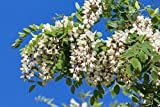 Robinie Robinia pseudoacacia 140 Samen
