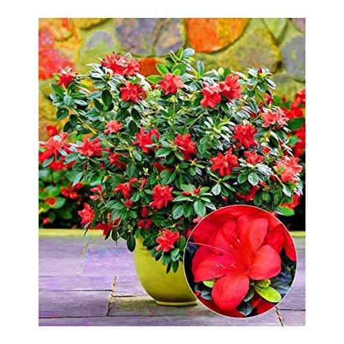 AIMADO Samen-Rarität 50 Pcs Durchblühende Azalee 'Bloom Champion' Samen,Rostblaettrige alpenrose Duftet Blumensamen Winterhart ideal für Garten Balkon