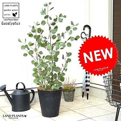 LAND PLANTS 観葉植物 ユーカリ ポポラス (黒色)8号 セラアート 鉢植え 大型 ポリアンセモス