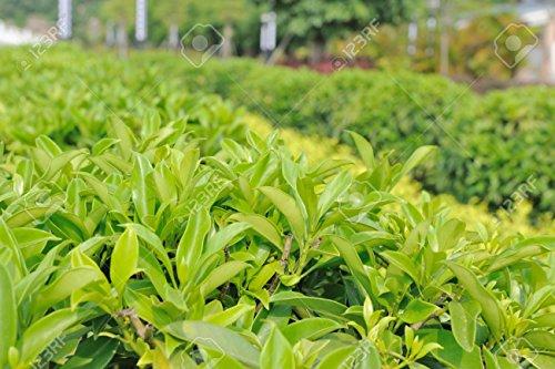 Graines Green théier chinois Bonsai 20 graines Cultivez votre propre thé