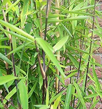 SANHOC Samen-Paket: Fargesia nitida 'Black Pearl' x 5 clumpsSEED