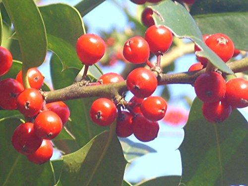 20 CASA reina inglesa HOLLYSEEDS - Ilex aquifolium