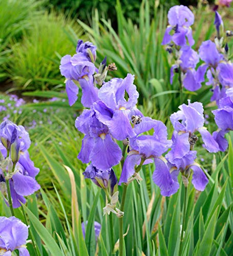 Schwertlilie Empress of India - Iris barbata