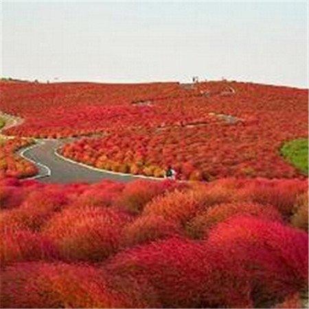 Grande vente Haut Grade 200 mix Bassia Scoparia Graines vivace Fleur pour Jardin en Bonsai,