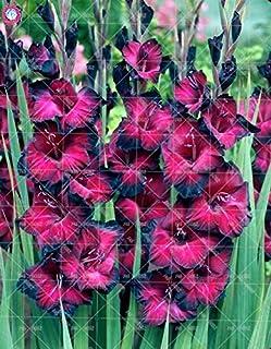 GEOPONICS Semillas: 100pcs gladiolo no los bulbos de flores de bulbo bonsai Vaniot no bombillas de hermosas flores para el jardín de plantas en maceta: 6