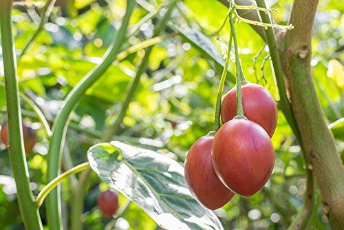 Baumtomate 5 Samen -Tamarillo (Cyphomandra betacea)
