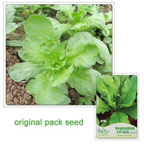 120 graines/Pack, Big Crown Feuille Daisy Graines, Balcon Plante en pot bio légumes Couronne Daisy