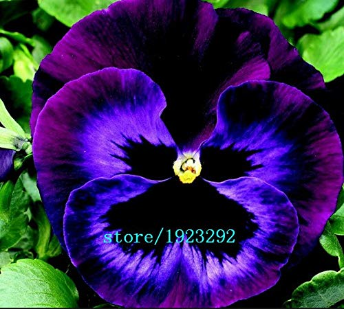 Bloom Green Co. Beautiful red and brown mixed pansy flower seeds 1 Pack 100 Seeds ideal DIY your home& garden original packing: White