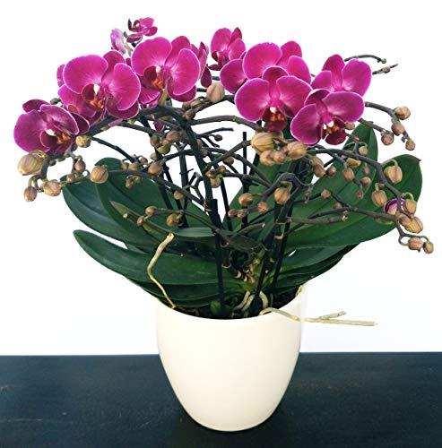 ORCHIDEA PHALAENOPSIS EXTRA!!! IN VASO CERAMICA BIANCO, pianta vera