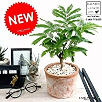 LAND PLANTS 観葉植物 エバーフレッシュ (茶色)モスポット シリンダー型 テラコッタ鉢 鉢植え
