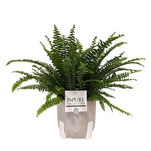 Nephrolepis exaltata Green Lady | Felce spada purificatrice |Compreso il vaso di cemento |Altezza 30-40 cm |Dimensione del vaso Ø 12 cm
