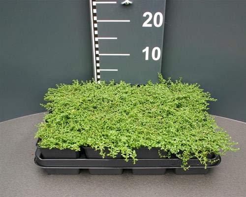 Herniaria glabra Kahles 50 Stück Bruchkraut Bodendecker Rasen-ErsatzT9x9